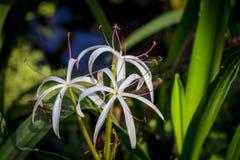 Moeras lilly in het park stock afbeelding