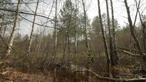 Moeras met bevindende leafless bomen in water in vroege lentetijd wordt geschoten die stock video