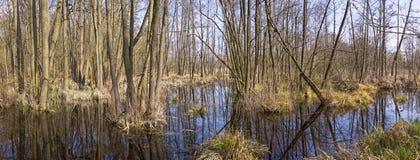 Moeras met elsbomen in de lente Een moeras is een moerasland dat bebost is, behandeld door aquatische vegetatie royalty-vrije stock afbeelding