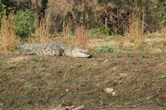 Moeras of Mugger krokodil stock afbeelding