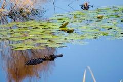 Moerasalligator en Lelies, Savannah National Wildlife Refuge stock foto's