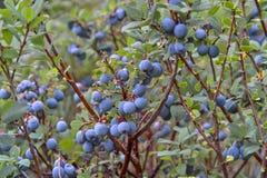 Moerasbosbes, Noordelijke Bosbes, Vaccinium uliginosum, vruchten in de zomer stock foto