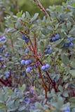Moerasbosbes, Noordelijke Bosbes, Vaccinium uliginosum, vruchten in de zomer stock fotografie