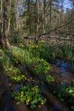 Moerasgoudsbloem in de lente Stock Afbeeldingen