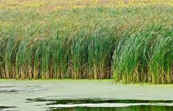 Moerasgras in een nat land stock fotografie