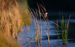 Moerasgras en water Stock Foto
