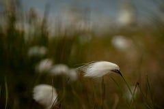 Moeraskatoen op Achill-eiland, Co mayo Stock Foto's