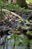 Moerasland - moerassig bos royalty-vrije stock afbeeldingen