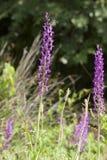 Moerasorchis, ορχιδέα ελών, palustris Orchis στοκ εικόνες