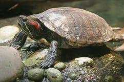 Moerasschildpad 3 stock afbeelding