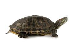 Moerasschildpad Stock Afbeelding