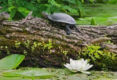 Moerasschildpad op een rivier royalty-vrije stock foto