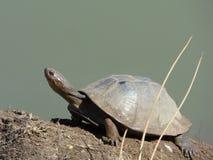 Moerasschildpad (Pelusios-sinuatus) Stock Foto