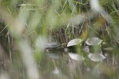 Moerasschildpaddenrust op een boomstomp Royalty-vrije Stock Foto