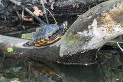 Moerasschildpadschildpad in een kleine rivier royalty-vrije stock foto's