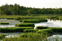 Moerassig Moeraswater en Bomen Stock Foto