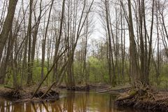 Moerassige rivier met vertakt kanaal in de lente bosaard van Volyn in Mei De lente in Europa royalty-vrije stock foto's