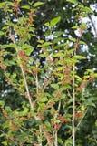 Moerbeibomen die in Bossen op een Boom groeien stock fotografie