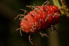 Moerbeiboomkleur dichtbij het heldere rood royalty-vrije stock afbeeldingen