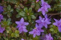 ` Moerheimii del impeditum del rododendro Imágenes de archivo libres de regalías