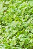 Moestuin--koriander bladeren royalty-vrije stock afbeeldingen