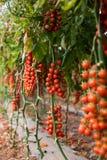Moestuin met installaties van rode tomatenkers op een wijnbouw op een tuinrood Royalty-vrije Stock Fotografie