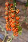 Moestuin met installaties van rode tomatenkers op een wijnbouw op een tuinrood Royalty-vrije Stock Foto's