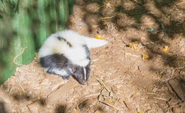 Moffetta a strisce comune bianca nera che mette sulla terra nel ritratto animale della fauna selvatica sveglia puzzolente della s fotografie stock