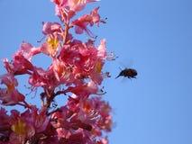 Mogeln Sie Biene anstrebt das Mittagessen durch Stockfotos