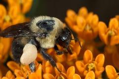 Mogeln Sie Biene auf Basisrecheneinheitsblume durch Lizenzfreie Stockfotos