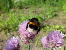 Mogeln Sie Biene auf einer Blume durch Lizenzfreies Stockbild