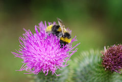 Mogeln Sie Biene auf einer Blume durch Stockfotografie