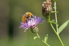 Mogeln Sie Biene auf einer Blume durch Stockfotos