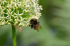 Mogeln Sie Biene auf Frühlings-Blume durch Stockfotografie