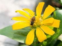 Mogeln Sie Biene auf Frühlings-Blume durch Lizenzfreies Stockfoto