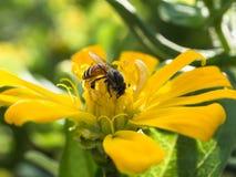 Mogeln Sie Biene auf Frühlings-Blume durch Stockfotos