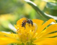 Mogeln Sie Biene auf Frühlings-Blume durch Stockbild
