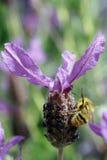 Mogeln Sie Biene auf Lavendelblume durch Lizenzfreies Stockfoto