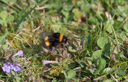 Mogeln Sie Biene bei der Arbeit durch Stockfoto