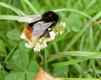 Mogeln Sie Biene durch Stockfotografie