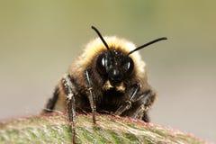 Mogeln Sie Biene durch lizenzfreie stockfotografie