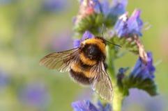 Mogeln Sie Biene durch Lizenzfreies Stockfoto