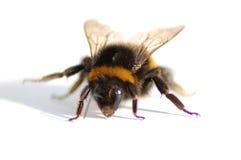 Mogeln Sie Biene durch Stockfotos