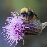Mogeln Sie Biene durch Stockfoto