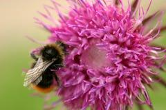 Mogeln Sie Biene u. Distel durch Stockfotografie