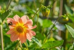 Mogeln Sie Biene und Blume durch Lizenzfreie Stockfotografie