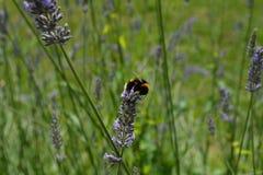 Mogeln Sie Biene und Lavendel durch Lizenzfreie Stockbilder