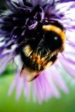 Mogeln Sie Bienen-Makro durch Lizenzfreie Stockfotografie