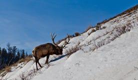 Mogen älgtjur som söker efter mat på den branta snöig kullen royaltyfria bilder