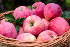 mogen äpplekorg Arkivfoton